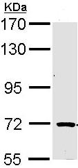 Western blot - Anti-TRIM32 antibody (ab96612)