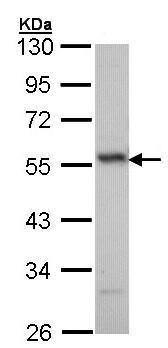Western blot - Anti-ERG antibody (ab96697)