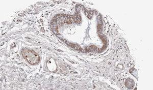 Immunohistochemistry (Formalin/PFA-fixed paraffin-embedded sections) - Anti-Wnt11 antibody (ab96730)