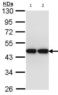 Western blot - Anti-ACTL8 antibody (ab96756)