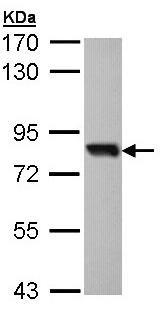 Western blot - Anti-SOX13 antibody (ab96776)