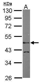 Western blot - Anti-LDB1 antibody (ab96799)