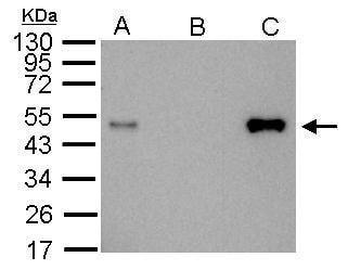 Immunoprecipitation - Anti-LDB1 antibody (ab96799)