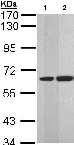 Western blot - Anti-SNX18 antibody (ab96843)