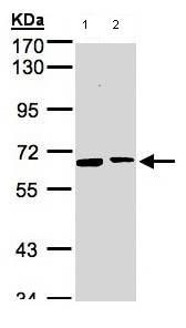 Western blot - Anti-SENP2 antibody (ab96865)