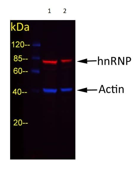 Western blot - Goat Anti-Rabbit IgG H&L (DyLight® 488) preadsorbed (ab96899)