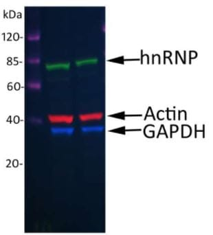 Western blot - Donkey Anti-Goat IgG H&L (DyLight® 488) preadsorbed (ab96935)