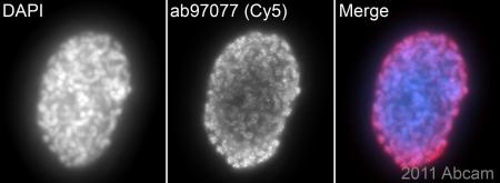 Immunocytochemistry/ Immunofluorescence - Goat Anti-Rabbit IgG H&L (Cy5 ®) preadsorbed (ab97077)