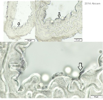 Immunohistochemistry (Frozen sections) - Donkey Anti-Rabbit IgG H&L (HRP) preadsorbed (ab97085)
